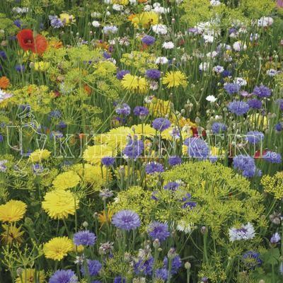 Kiepenkerl Farben vergangener Zeit einjährig 1 Kilogramm Samen