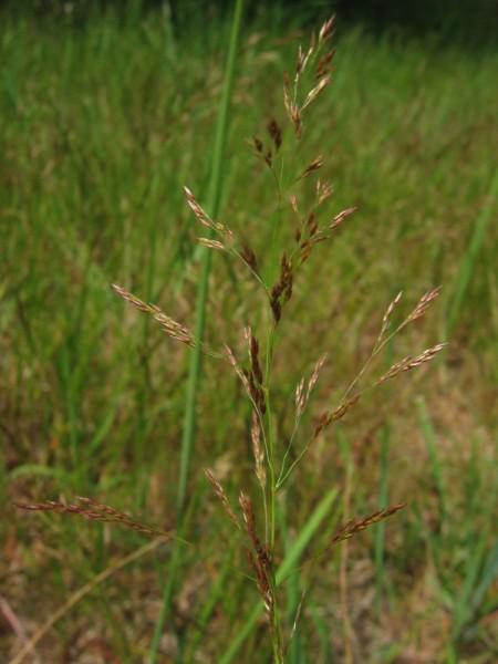 agrostis-cappillaris-rotes-straussgras