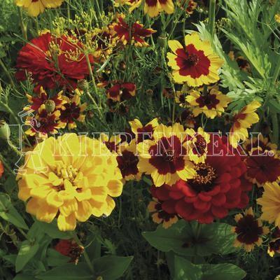 Kiepenkerl Warme Blütentöne 1 Kilogramm Samen