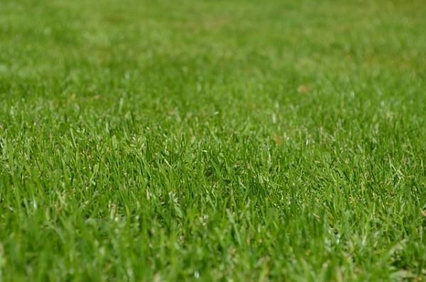 grasnarbe-mit-rasenpflanze